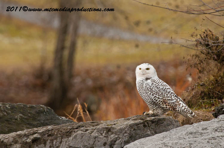 Snowy Owl Picture-02