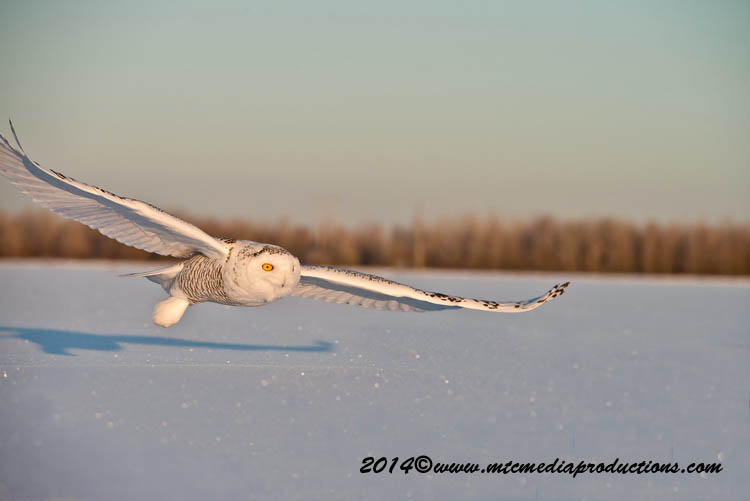 Snowy Owl Picture-22