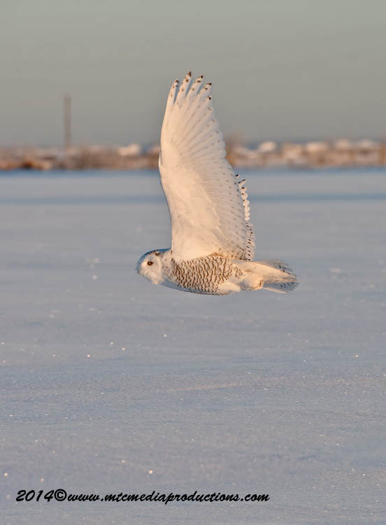 Snowy Owl Picture-23