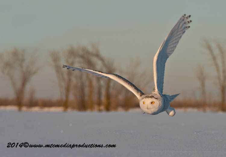 Snowy Owl Picture-24