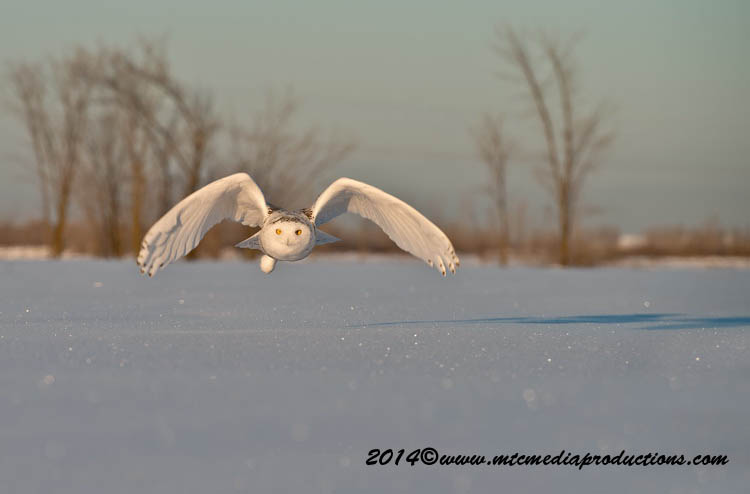 Snowy Owl Picture-25