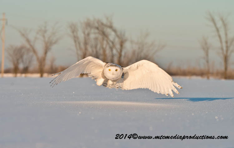 Snowy Owl Picture-26