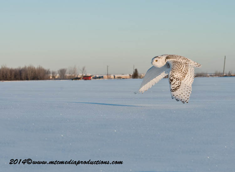 Snowy Owl Picture-27