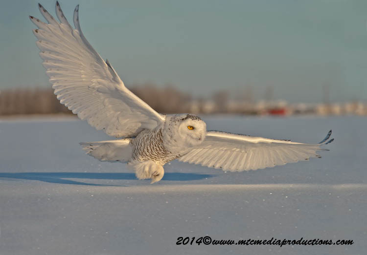 Snowy Owl Picture-28