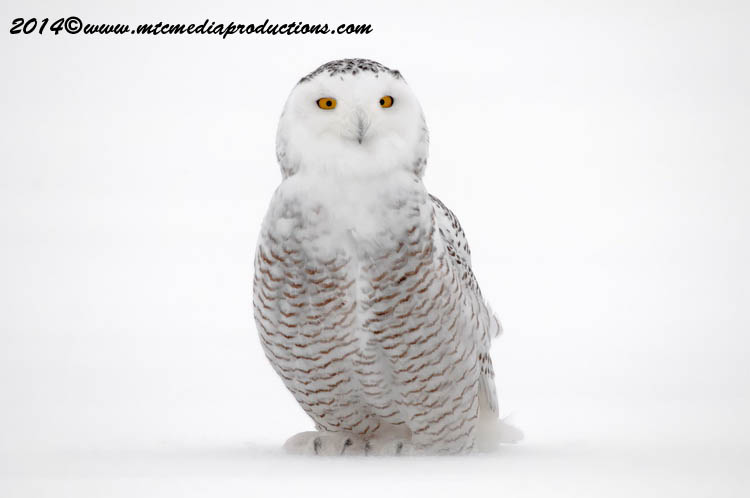 Snowy Owl Picture-29