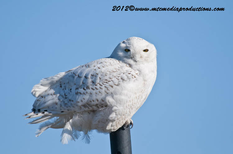 Snowy Owl Picture-03