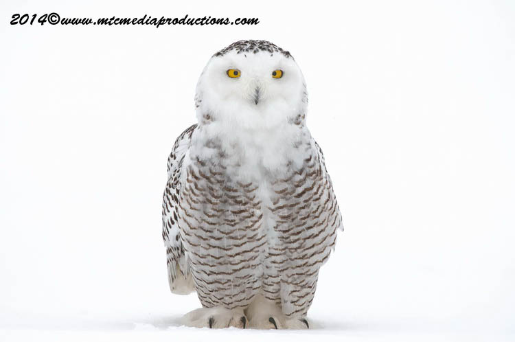 Snowy Owl Picture-31
