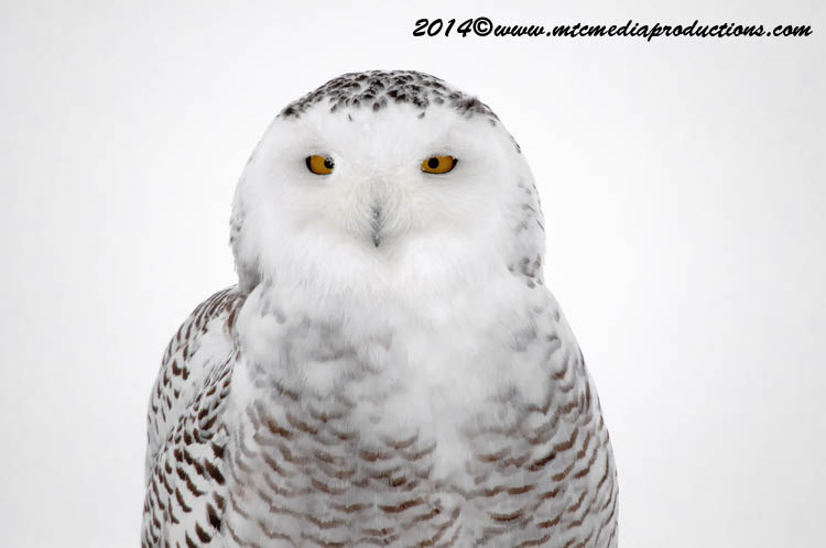 Snowy Owl Picture-32