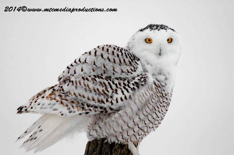 Snowy Owl Picture-33