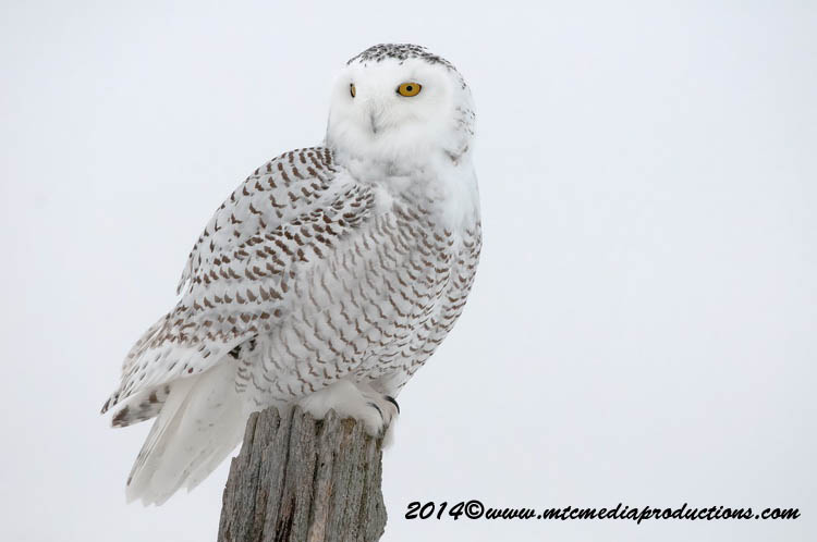 Snowy Owl Picture-34