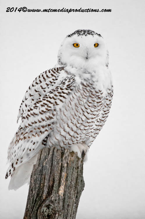 Snowy Owl Picture-35