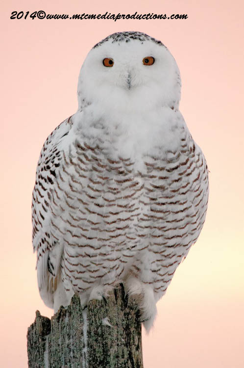 Snowy Owl Picture-36
