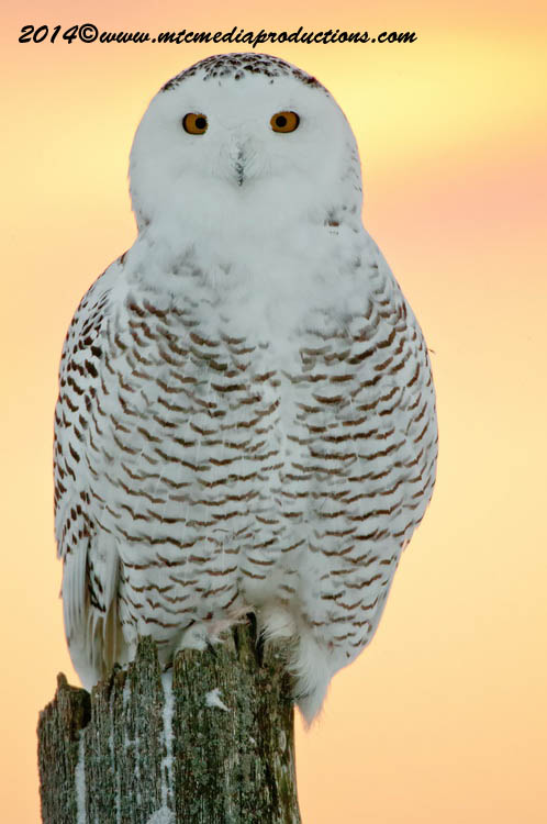 Snowy Owl Picture-37