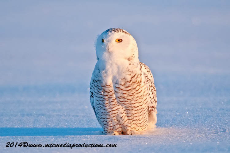 Snowy Owl Picture-38