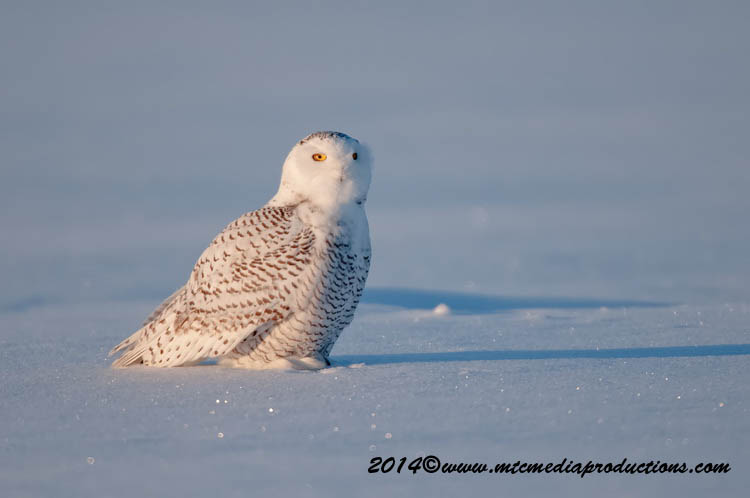 Snowy Owl Picture-39