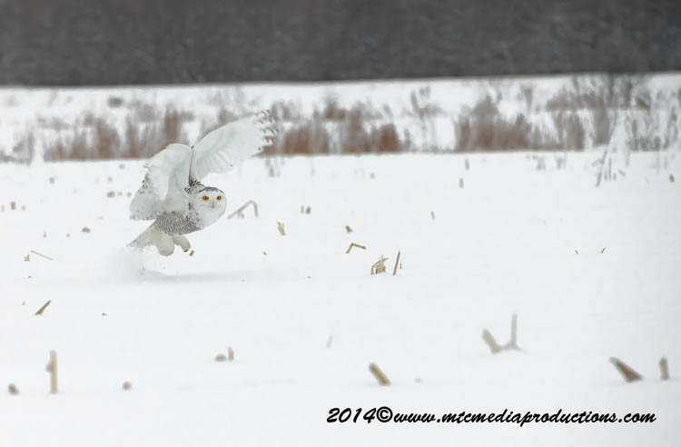 Snowy Owl Picture-04