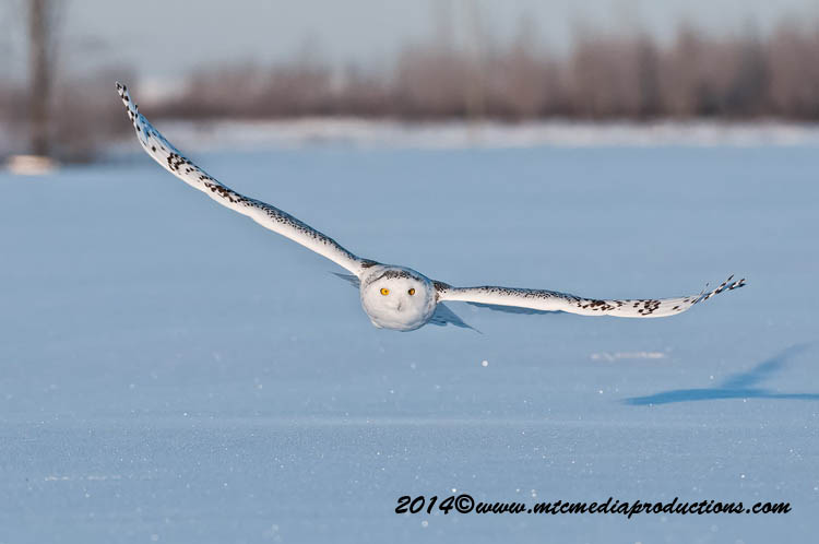 Snowy Owl Picture-40