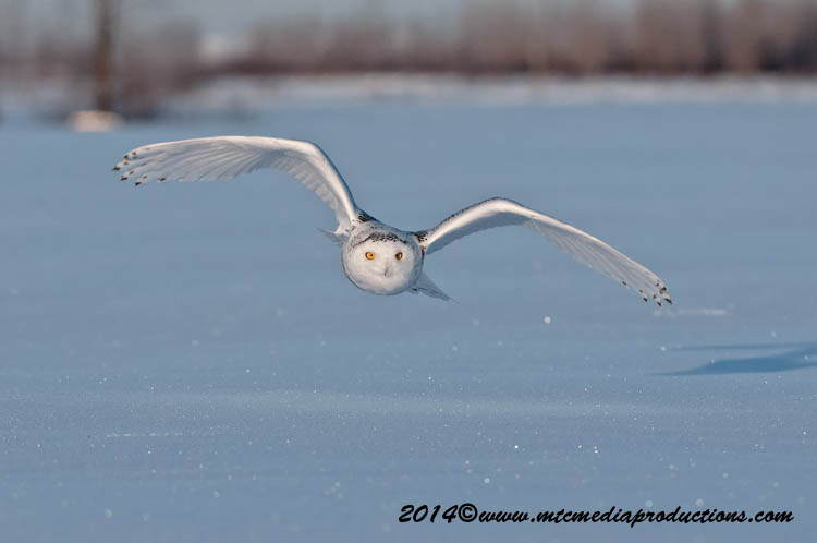 Snowy Owl Picture-41