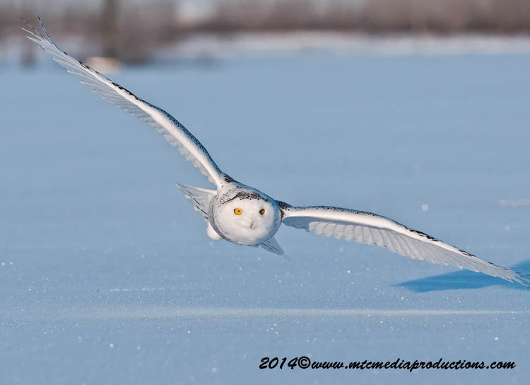 Snowy Owl Picture-42