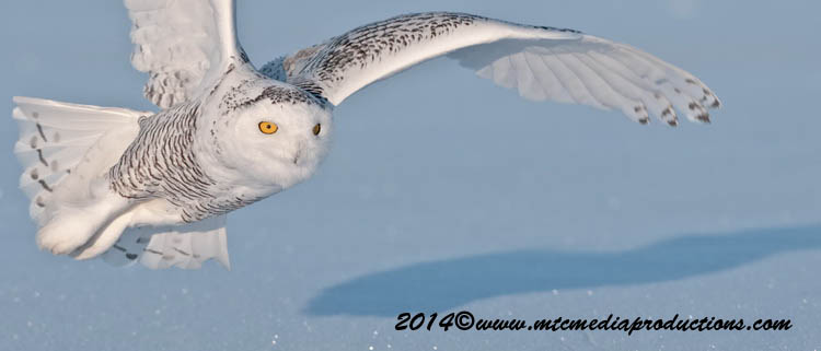 Snowy Owl Picture-43