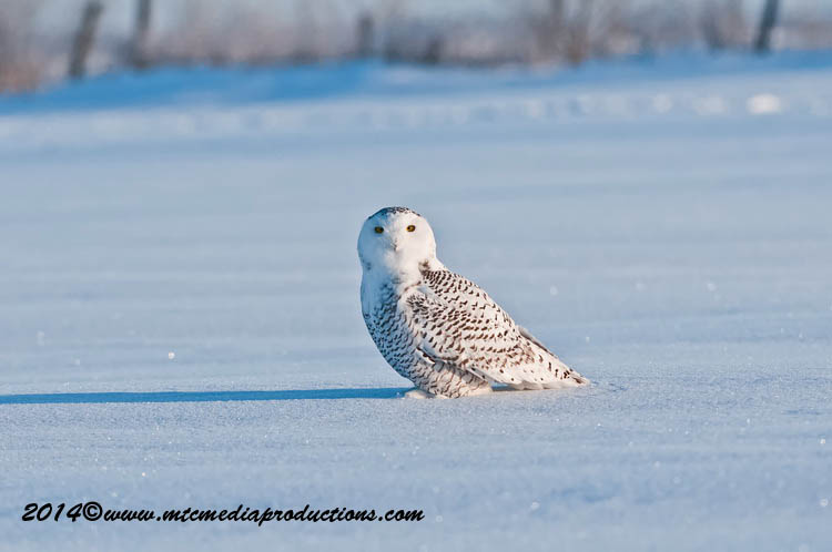 Snowy Owl Picture-44