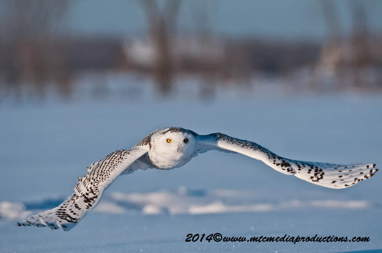 Snowy Owl Picture-45