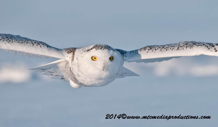 Snowy Owl Picture-46