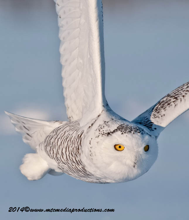 Snowy Owl Picture-47