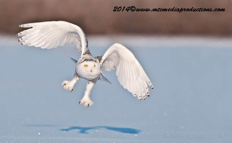 Snowy Owl Picture-48