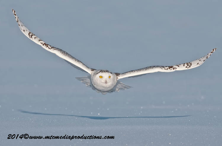 Snowy Owl Picture-49