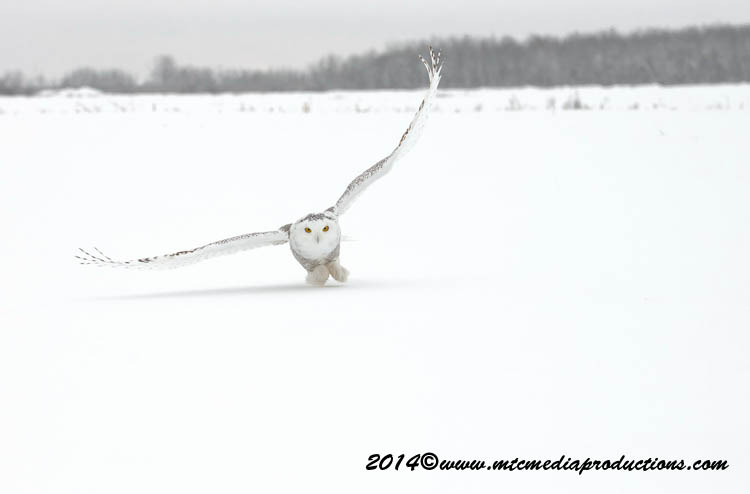 Snowy Owl Picture-05