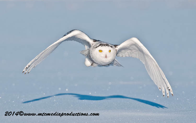 Snowy Owl Picture-50