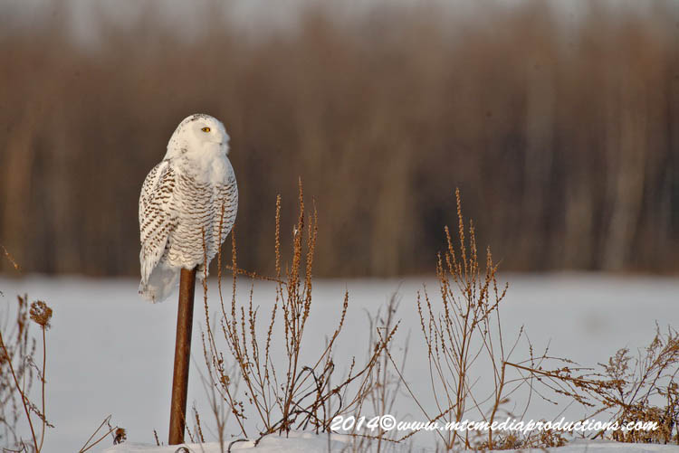 Snowy Owl Picture-51