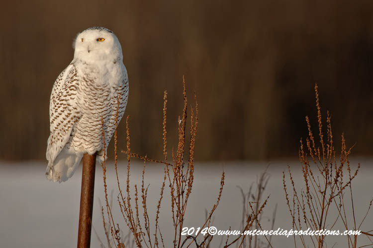 Snowy Owl Picture-52