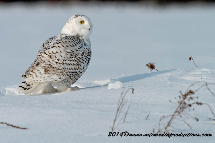 Snowy Owl Picture-53