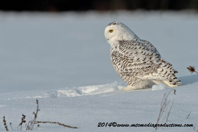 Snowy Owl Picture-54