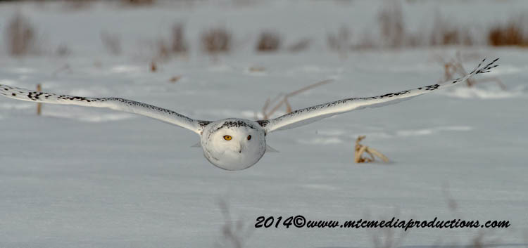 Snowy Owl Picture-55