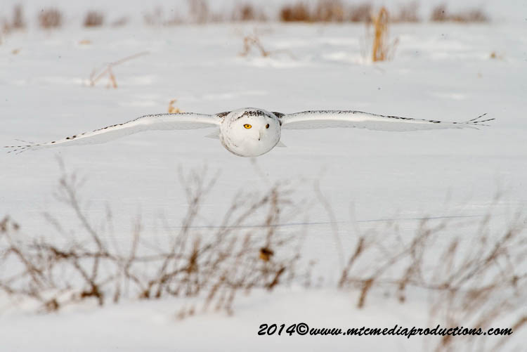 Snowy Owl Picture-56