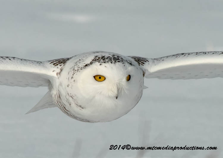 Snowy Owl Picture-57