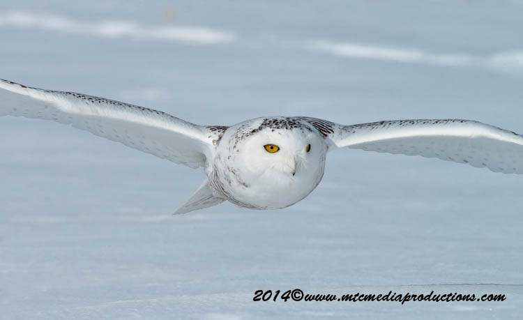 Snowy Owl Picture-58