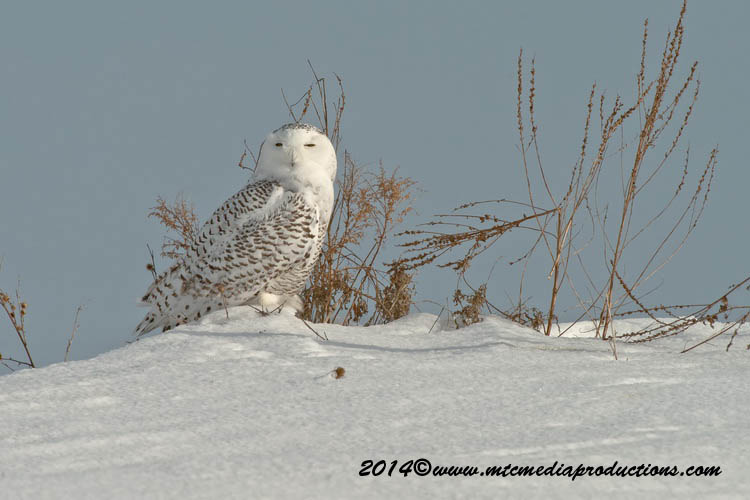 Snowy Owl Picture-59