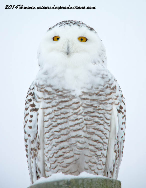 Snowy Owl Picture-06