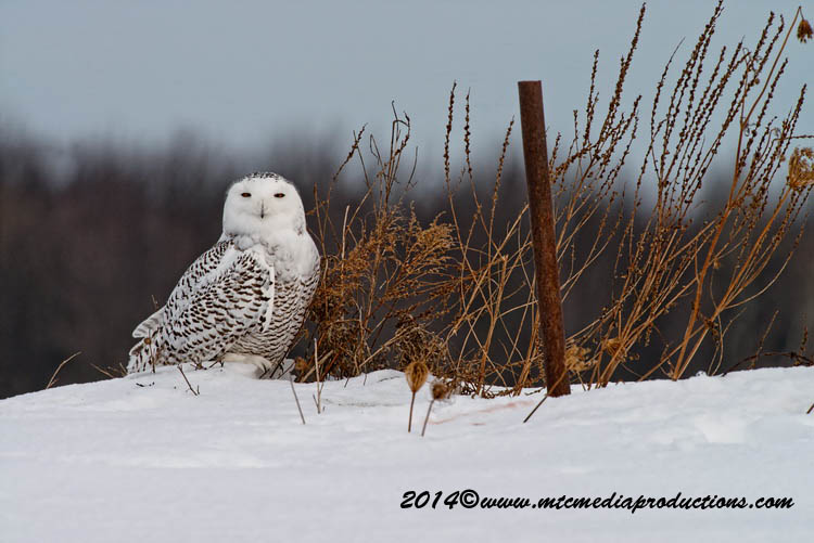 Snowy Owl Picture-60