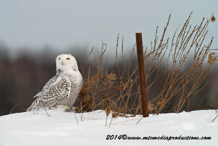 Snowy Owl Picture-61