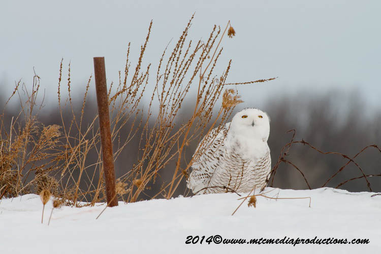 Snowy Owl Picture-62