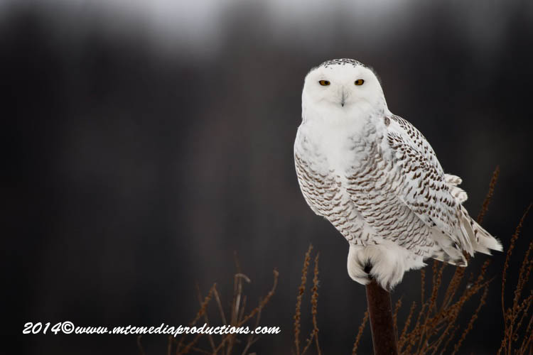 Snowy Owl Picture-63