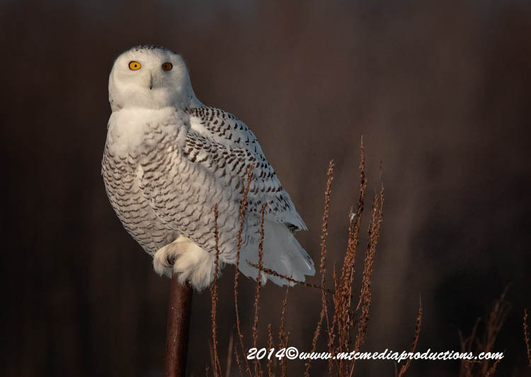 Snowy Owl Picture-64