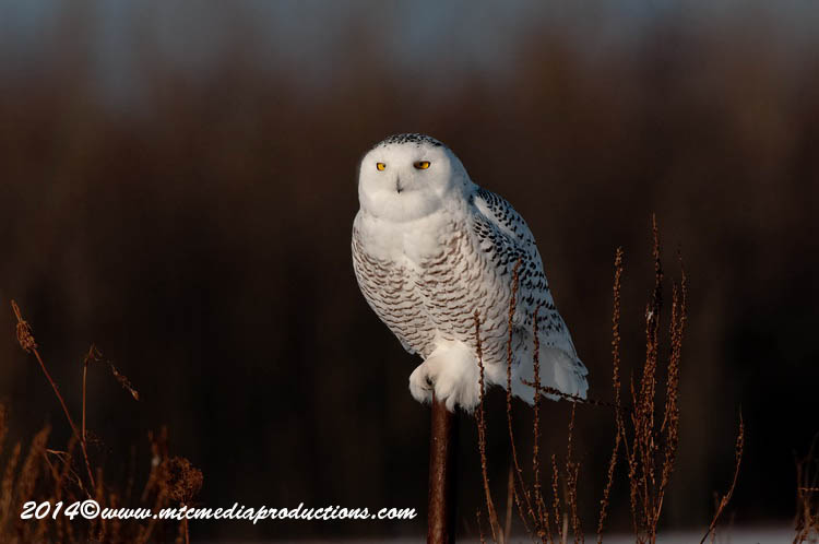 Snowy Owl Picture-65