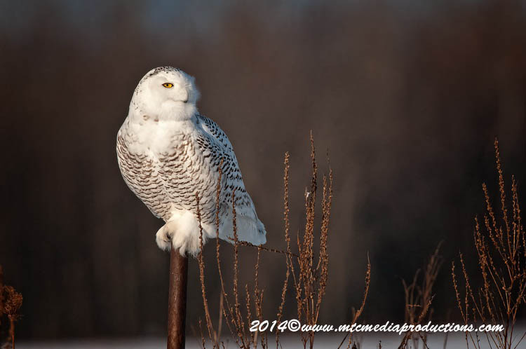 Snowy Owl Picture-66