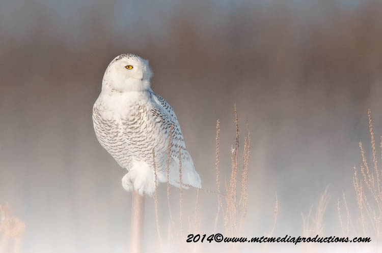 Snowy Owl Picture-67